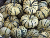 Old Indian Heritage Squash Seeds, Photo Tanya Stefanec