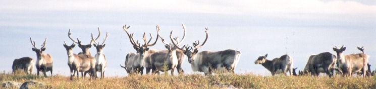 Wild Caribou in Northern Canada